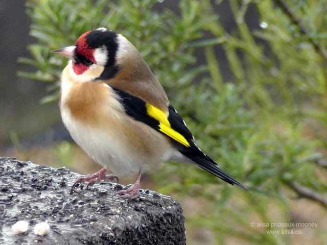 european goldfinch, goldfinch, ireland, birds, travel, travelogue, ailsa prideaux-mooney, photography
