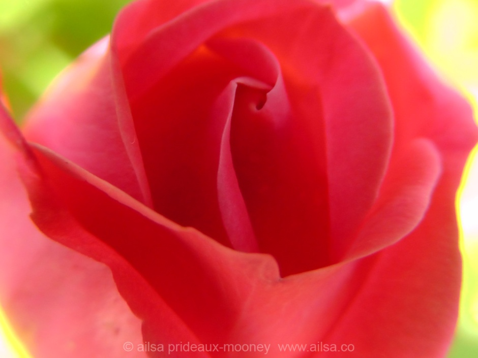 rose, travel, travelogue, ailsa prideaux-mooney, nature photography