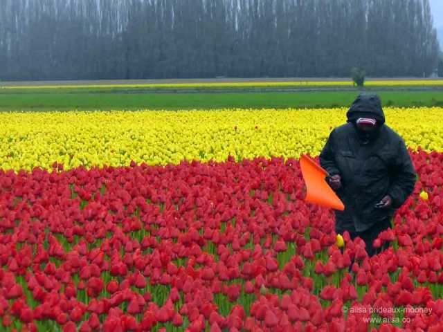 Skagit Valley Tulip Festival, washington, usa, travel, travelogue, travel photography, ailsa prideaux-mooney