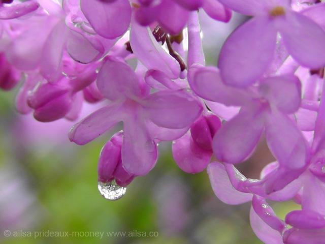 lilac, raindrop, travel, travelogue, nature photography, floral, ailsa prideaux-mooney