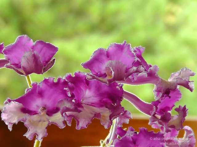 streptocarpus, pink, purple, frilly, frilled, travel, travelogue, ailsa prideaux-mooney