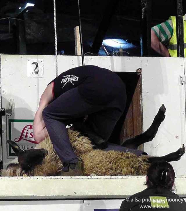 sheep olympics, golden shears, gorey, wexford, ireland, travel, travelogue, ailsa prideaux-mooney, sheep shearing