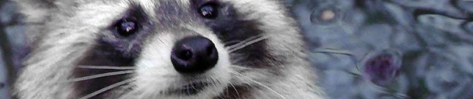 raccoon, central park, new york, manhattan. wildlife. travel, travelogue, ailsa prideaux-mooney