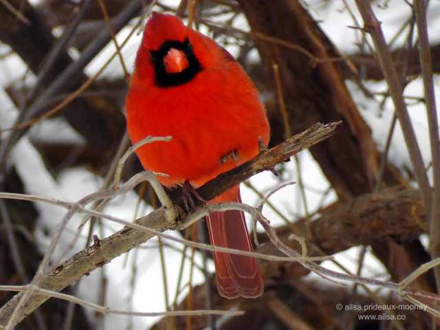 red cardinal, new york, central park, manhattan, travel, travelogue, ailsa prideaux-mooney