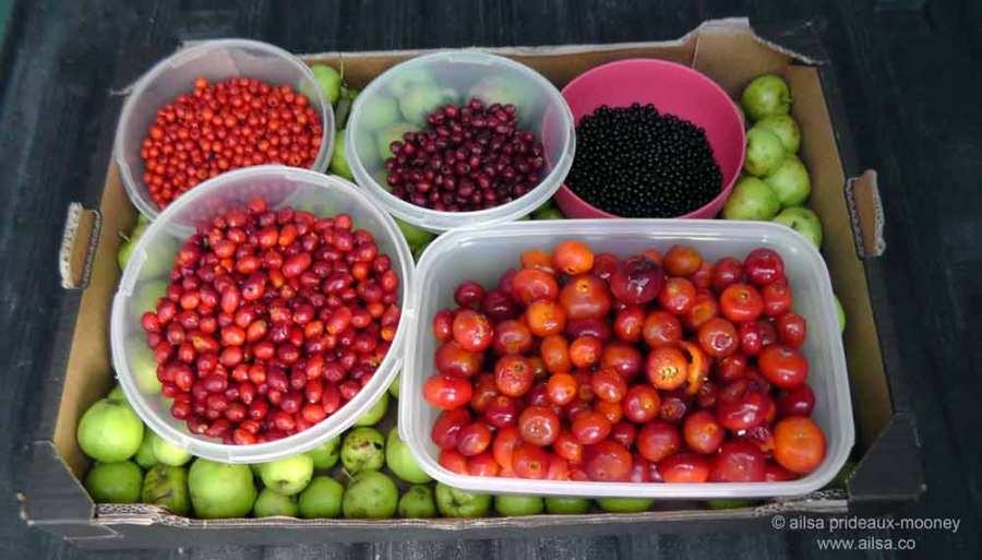 foraging, wild food, wild fruit, berries, ireland, hedgerow, autumn, travel, travelogue, ailsa prideaux-mooney