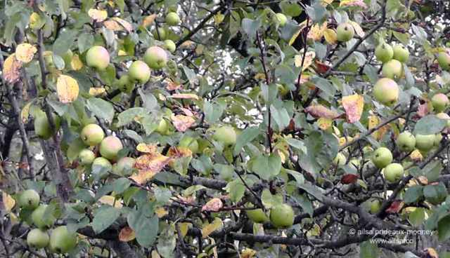 foraging, wild food, wild fruit, berries, ireland, hedgerow, autumn, travel, travelogue, ailsa prideaux-mooney, crabapples
