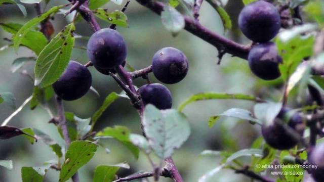 foraging, wild food, wild fruit, berries, ireland, hedgerow, autumn, travel, travelogue, ailsa prideaux-mooney, sloe, blackthorn