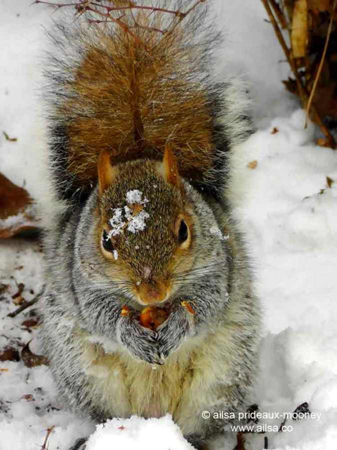 squirrel, snow, central park, new york, wildlife photography, ailsa prideaux-mooney