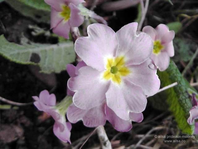 wild primrose, primula vulgaris, ireland, springtime, spring, ailsa prideaux-mooney