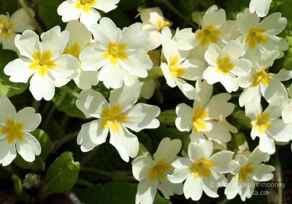 wild primrose, primula vulgaris, ireland, springtime, spring