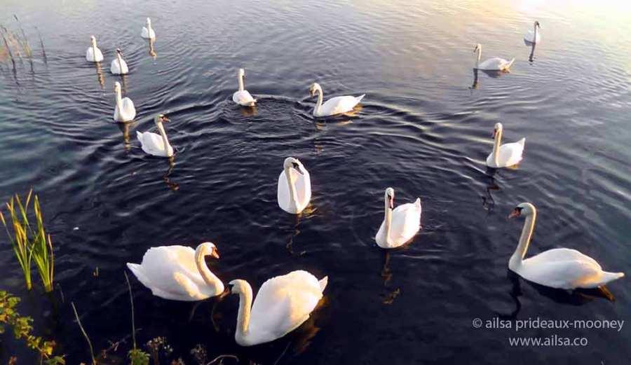 swan lake, loughaderra, cork, midleton, castlemartyr, ireland, travel, travelogue, ailsa prideaux-mooney