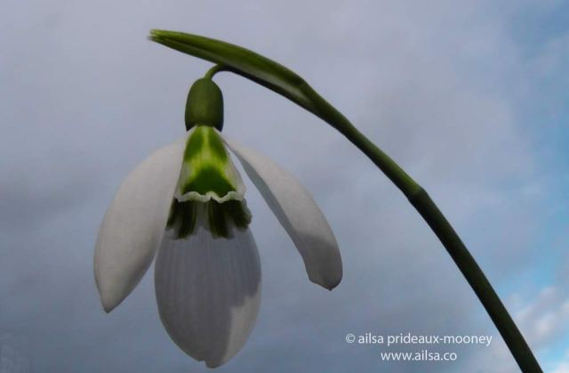 altamont gardens, snowdrop festival, ireland, travel, travelogue, ailsa prideaux-mooney