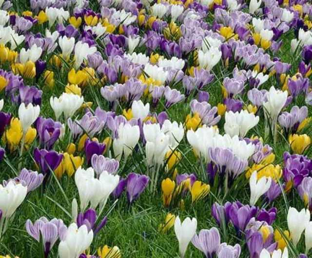 flowers, spring, irish garden, crocus, travel, travelogue