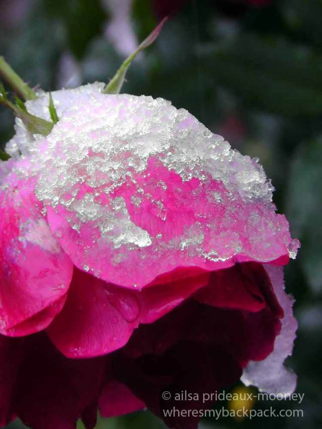 ice rose, new york, travel, travelogue, ailsa prideaux-mooney