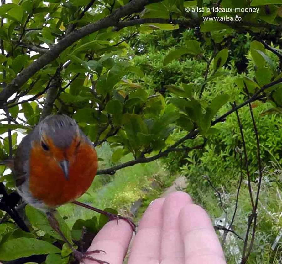 european robin, tame robin, travelogue, travel, ailsa prideaux-mooney