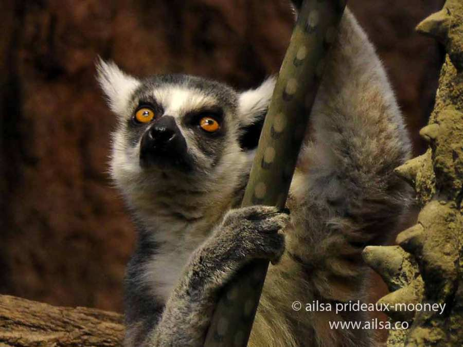 lemur, new york, travelogue, ailsa prideaux-mooney