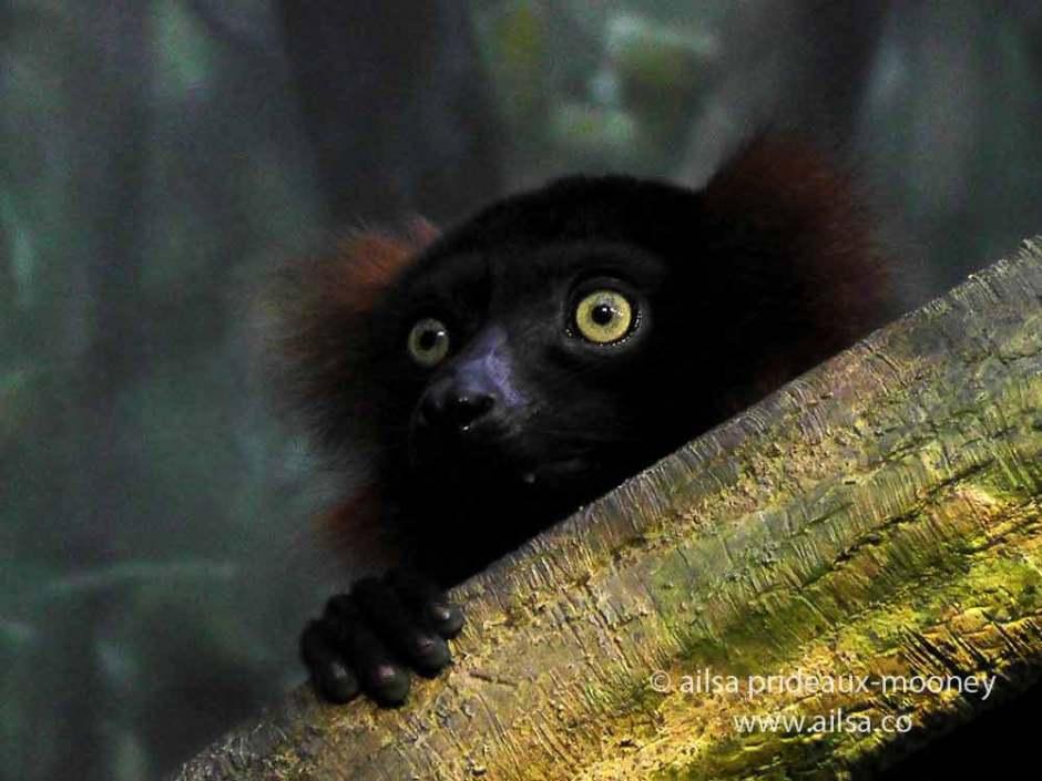 lemur, new york, travelogue, ailsa prideaux-mooney