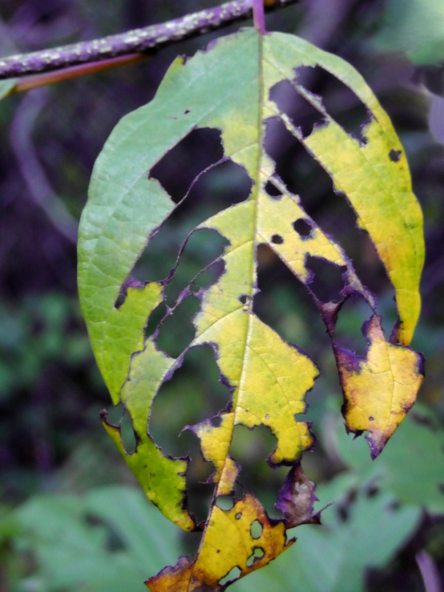 autumn leaf, fall leaves, jamaica bay wildlife sanctuary, new york, travelogue, ailsa prideaux-mooney