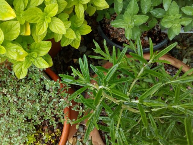 herbs, herb garden, ailsa prideaux-mooney