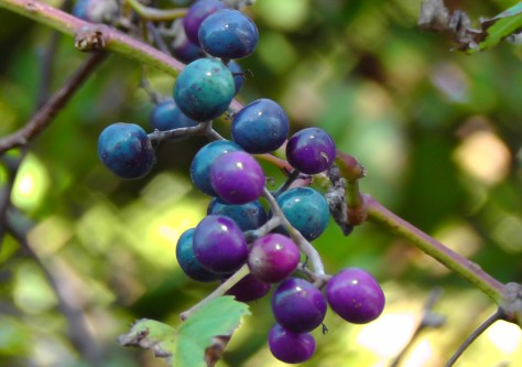 rye, westchester county, ailsa prideaux-mooney, purple blue berries