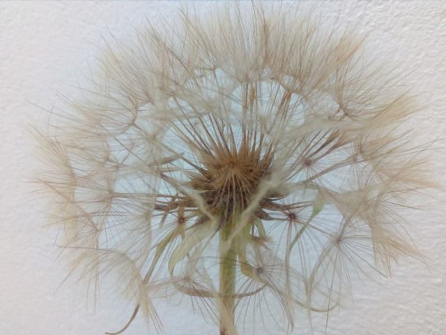 salsify seed head, ailsa prideaux-mooney